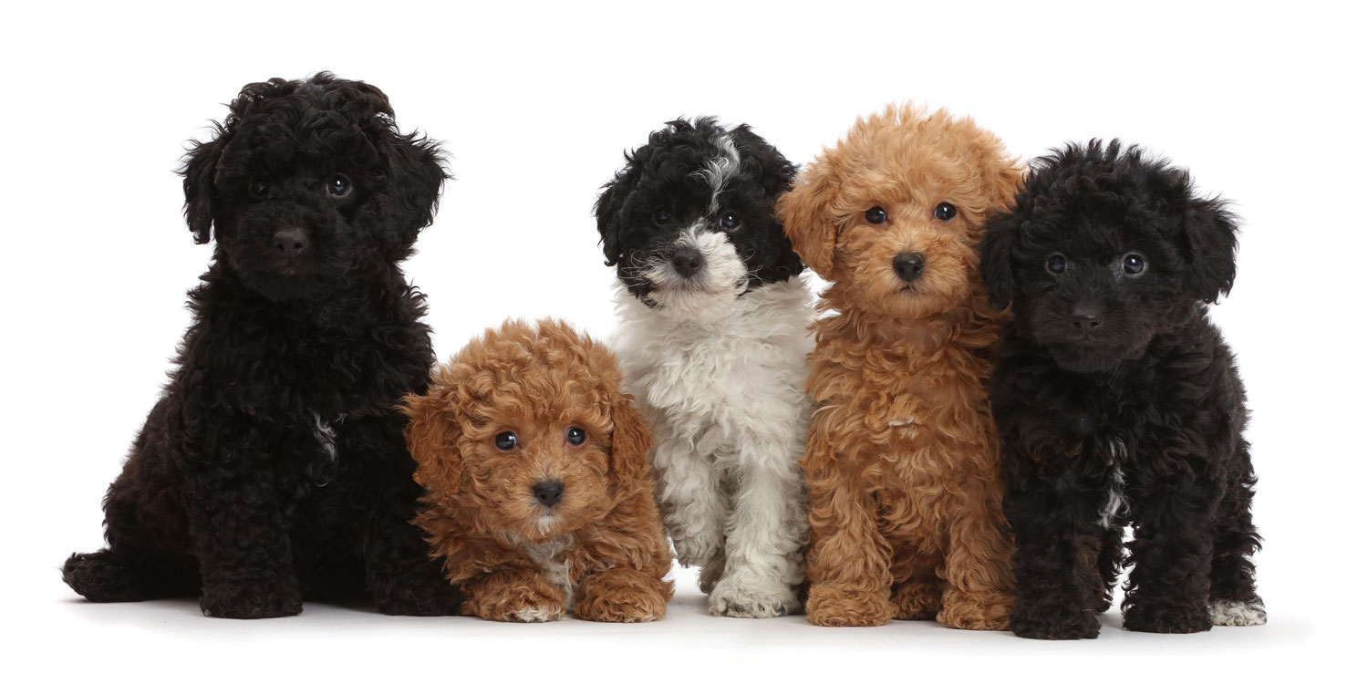 Poodle Puppies for Sale by Uptown Puppies