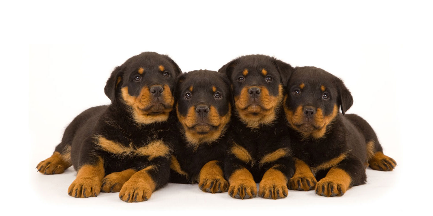 Rottweiler Puppies for Sale by Uptown Puppies