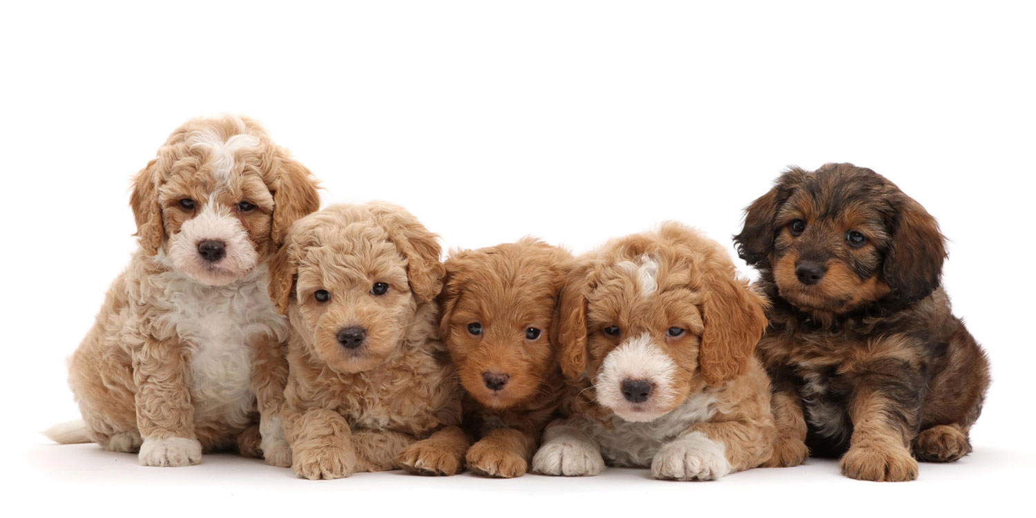 Goldendoodle Puppies for Sale by Uptown Puppies