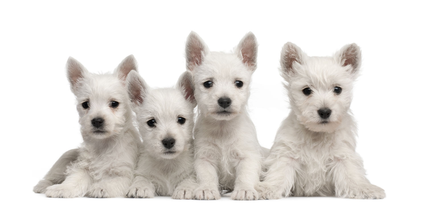 white terrier puppies for sale