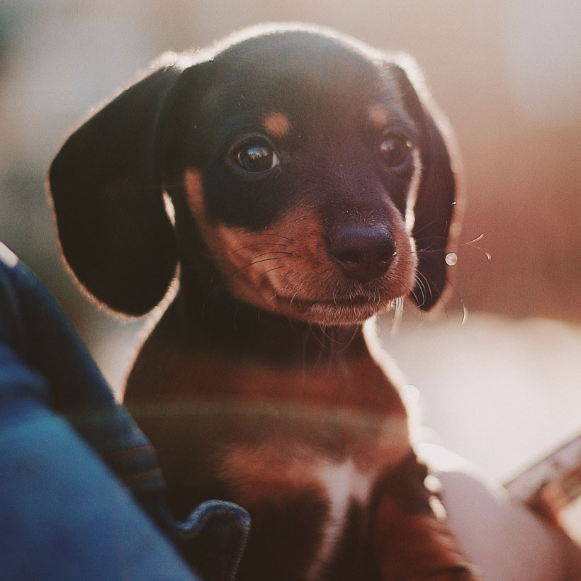 Dachshund puppies in Los Angeles