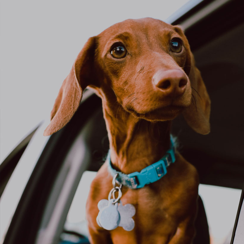 best Dachshund breeders in Los Angeles