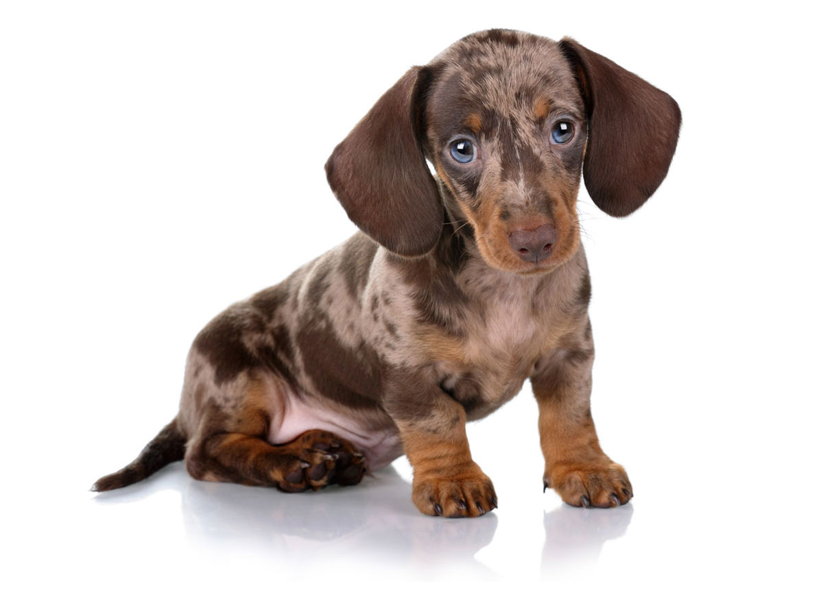 Dachshund Puppies for Sale in Arkansas by Uptown Puppies