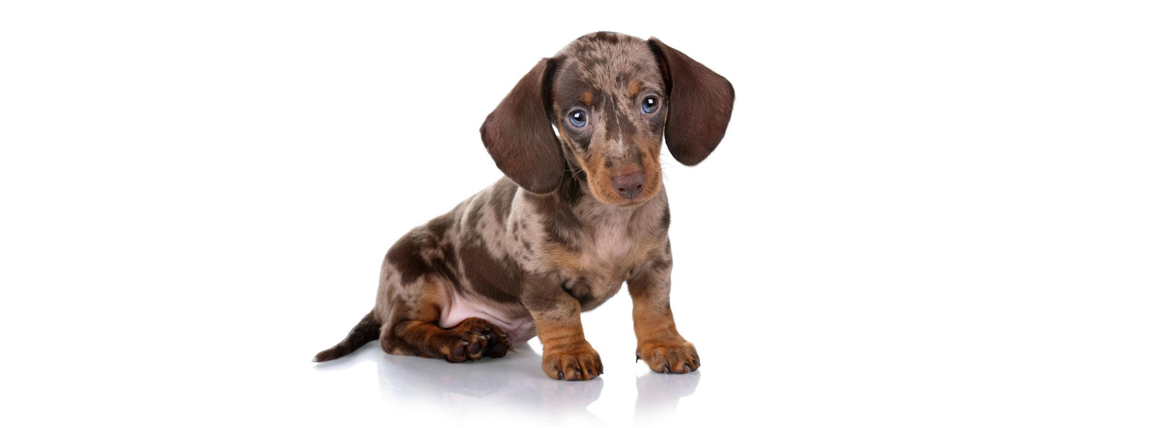 Dachshund puppy finder