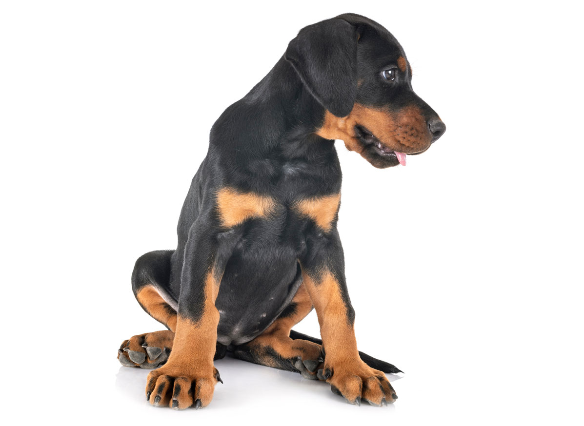 Doberman puppy finder