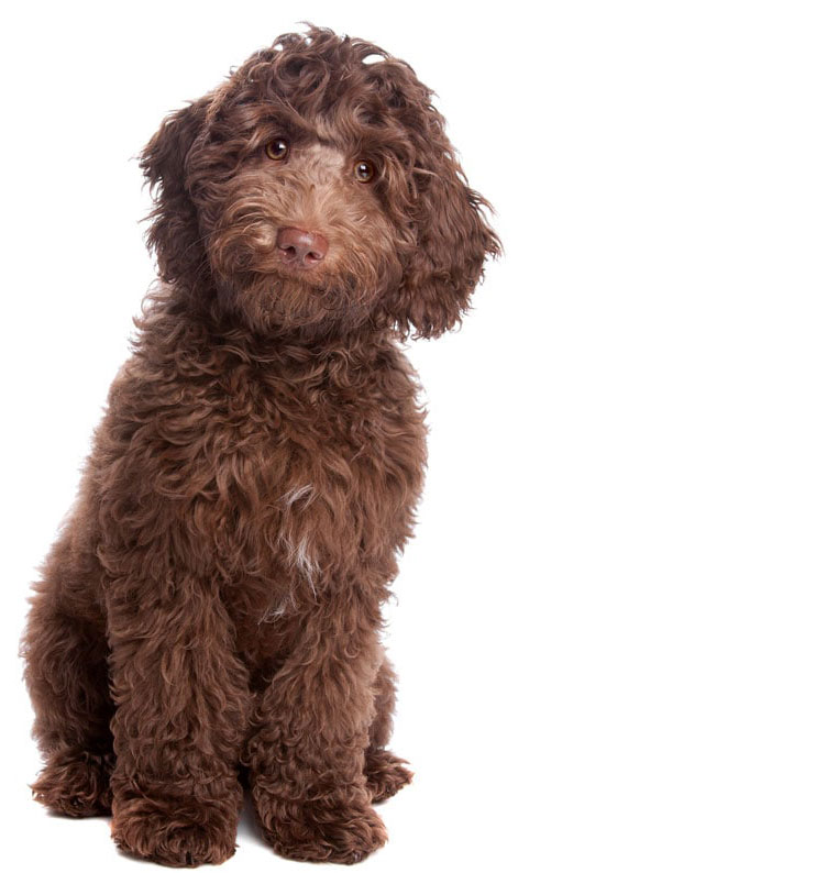 labradoodle puppies South Dakota
