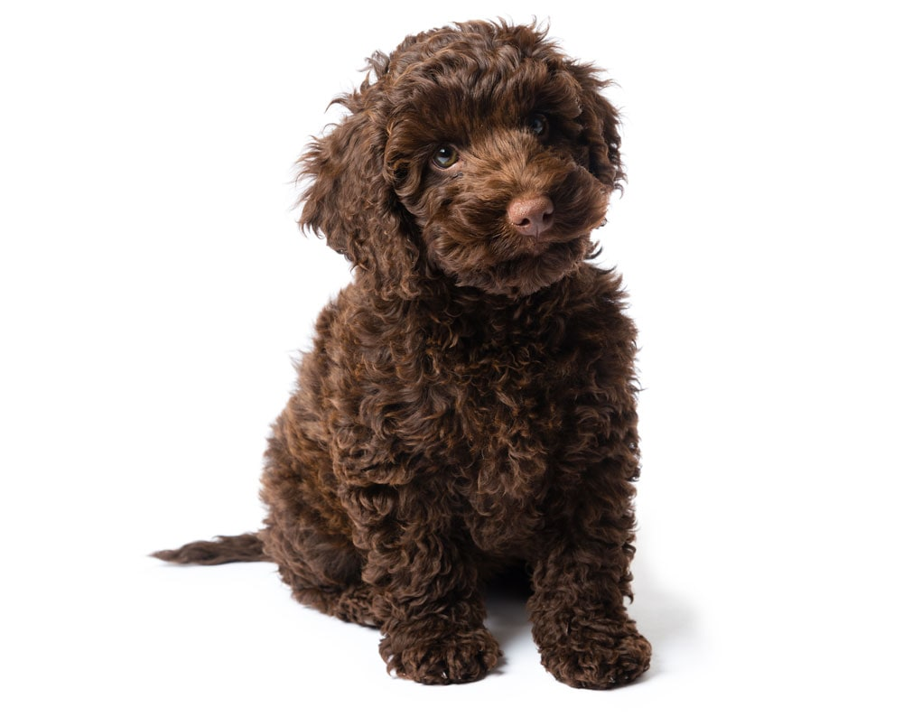los angeles goldendoodle