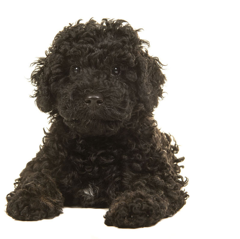 labradoodle puppies for sale oregon