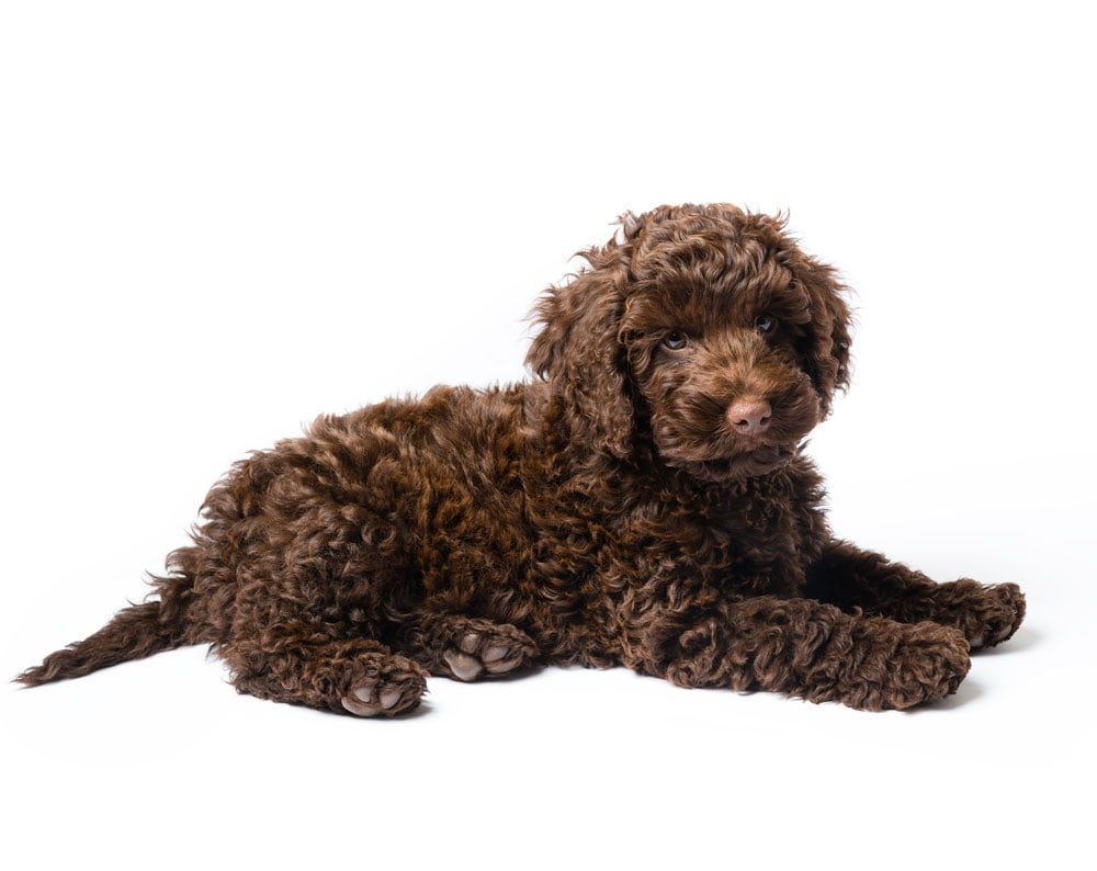 mini goldendoodle oregon