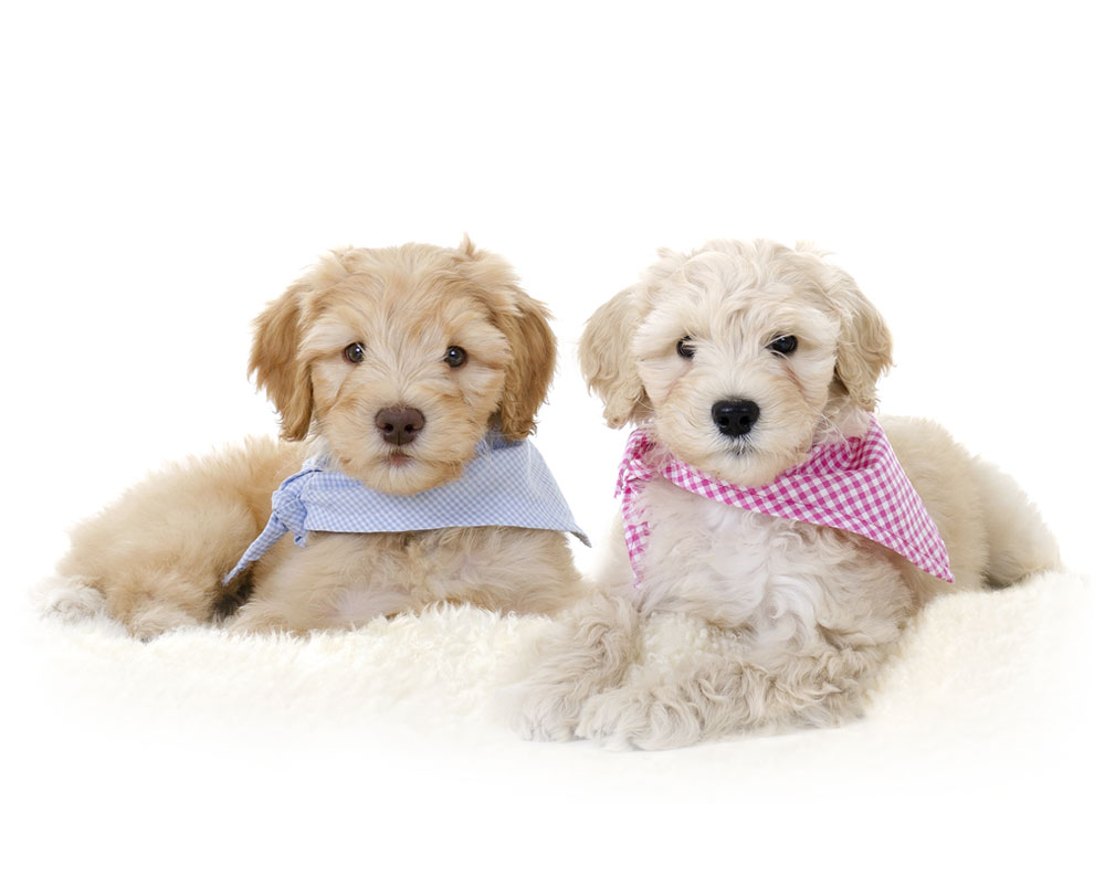 goldendoodle puppies oregon