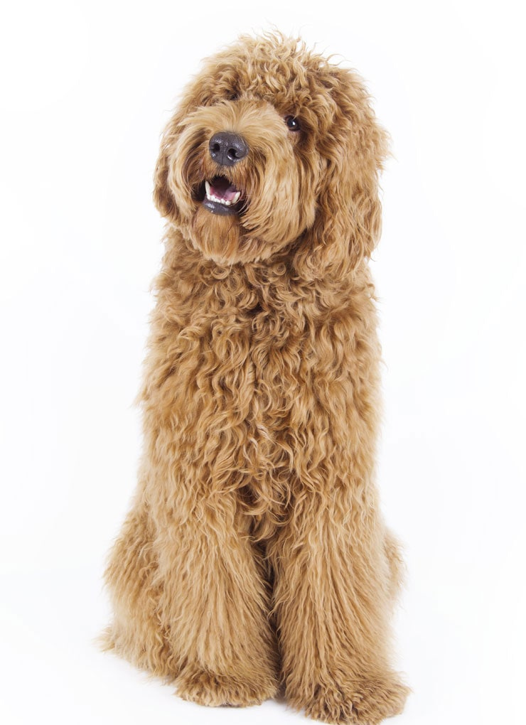 pure bread Goldendoodle