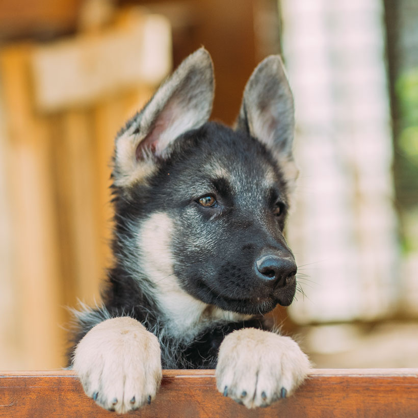 San Francisco German Shepherd breeder