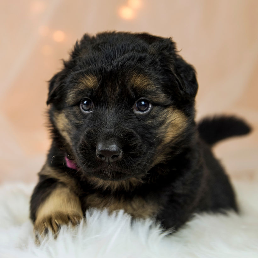 San Diego German Shepherd puppies for sale