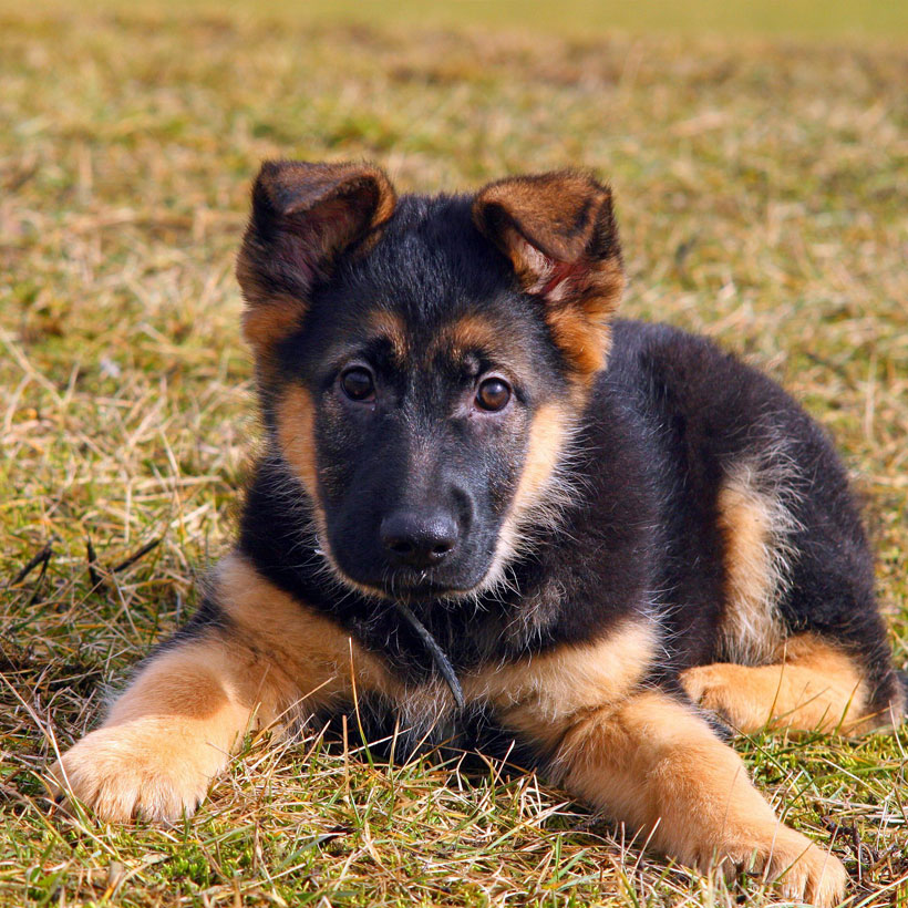 German Shepherd puppies in (state)