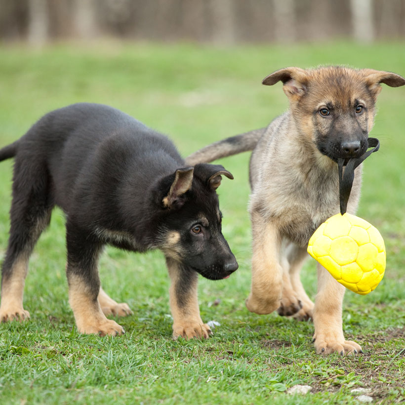 (state) German Shepherds