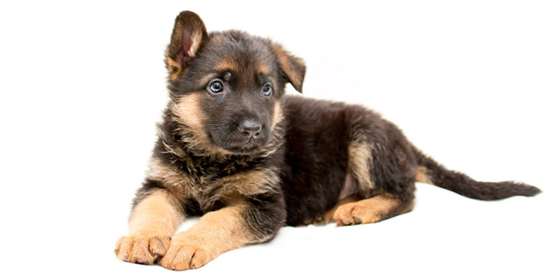 German Shepherd puppies for sales