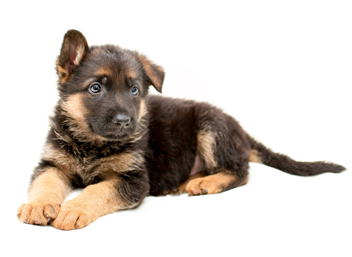 German Shepherd Puppies for Sale in New York by Uptown Puppies