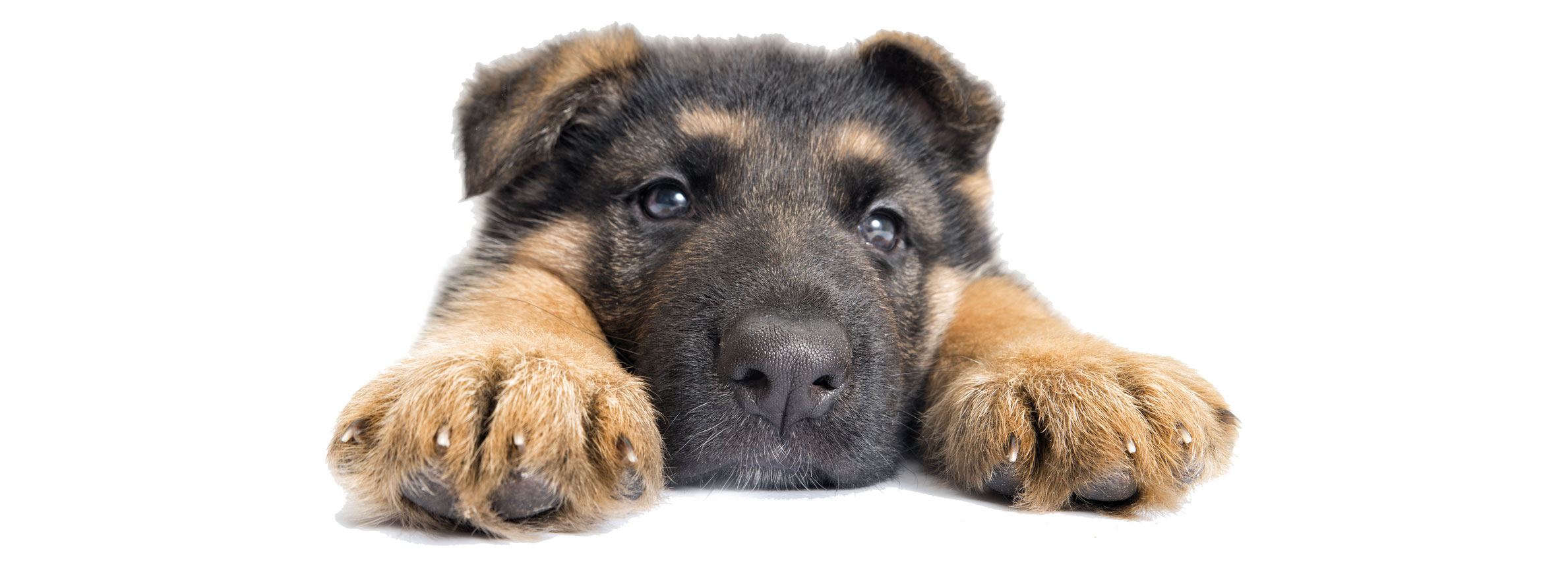 German Shepherd puppy finder