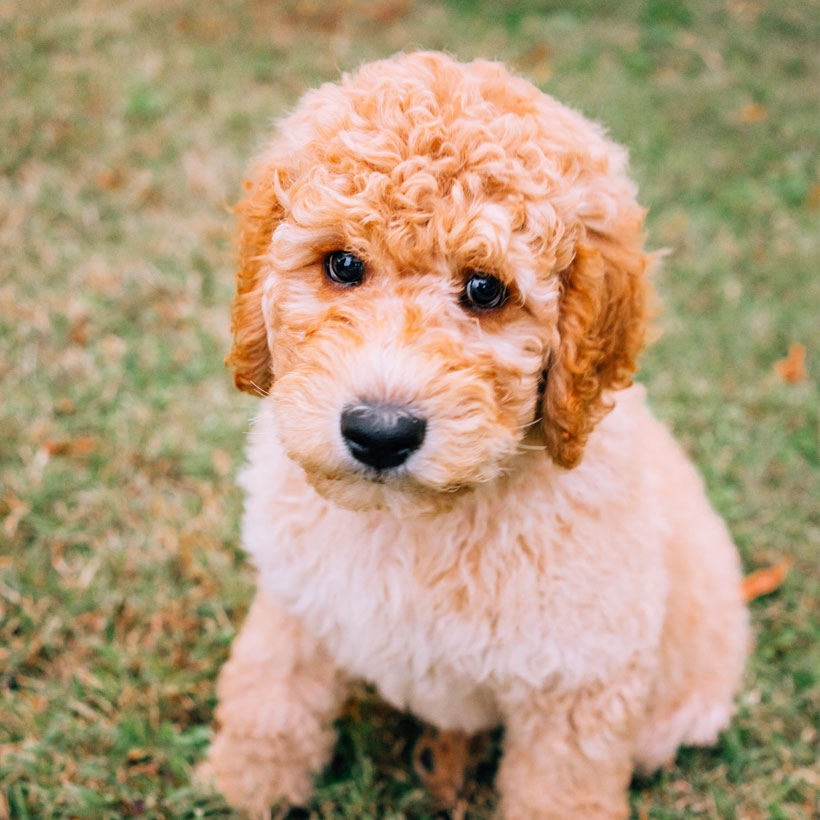 Uptown Puppies Goldendoodle Breeder