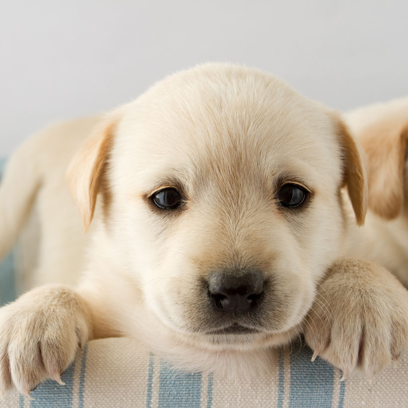 Golden Retriever breeder San Diego