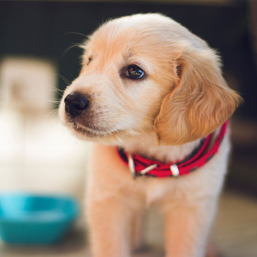 Golden Retriever puppies for sale Houston