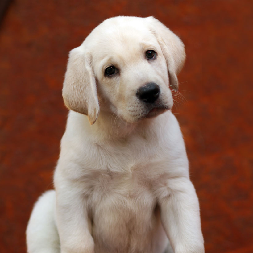 Golden Retriever puppies Phoenix Arizona
