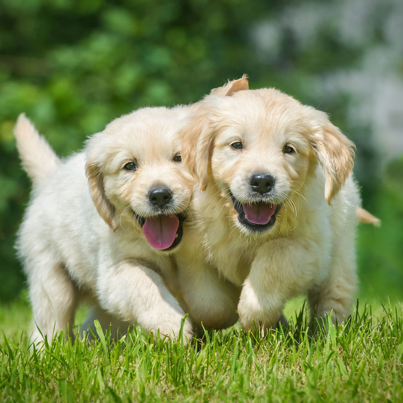 best Golden Retriever breeders Texas