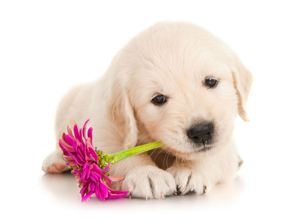 Golden Retriever Puppies for Sale in Oregon by Uptown Puppies