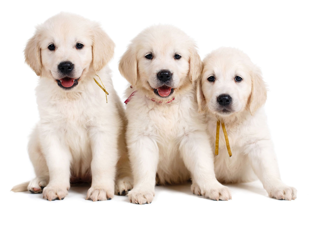 Golden Retriever puppies for sale by Uptown Puppies