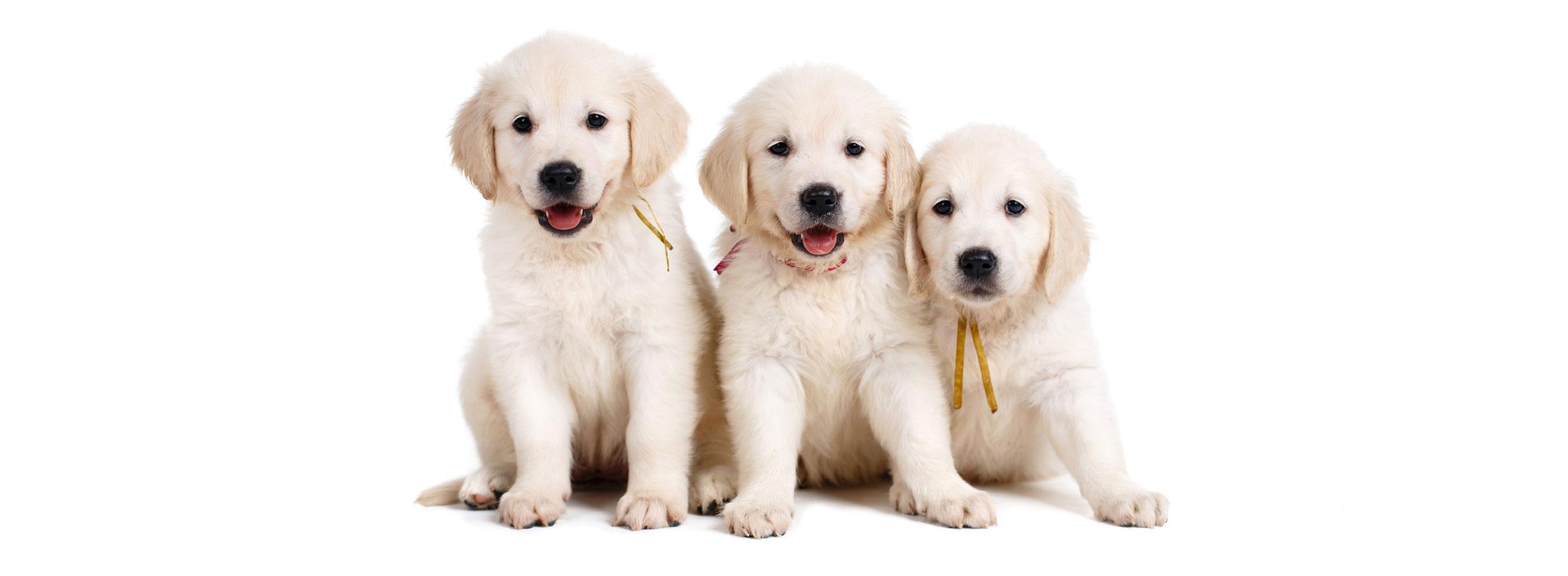 Golden Retriever puppy finder