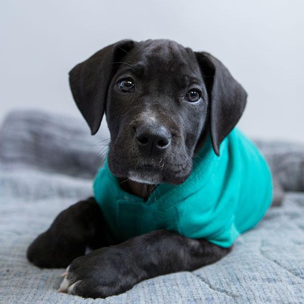 Uptown Puppies Great Dane Breeder