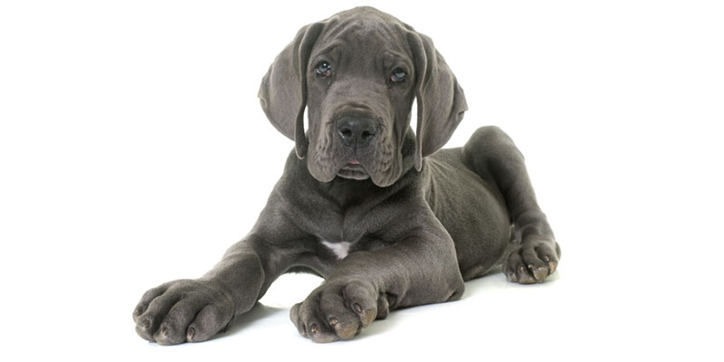 Great Dane puppies for sales