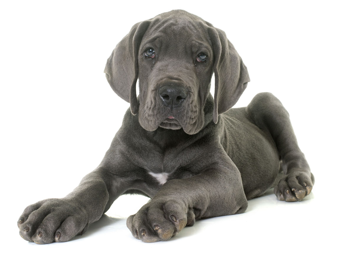 Great Dane puppy finder