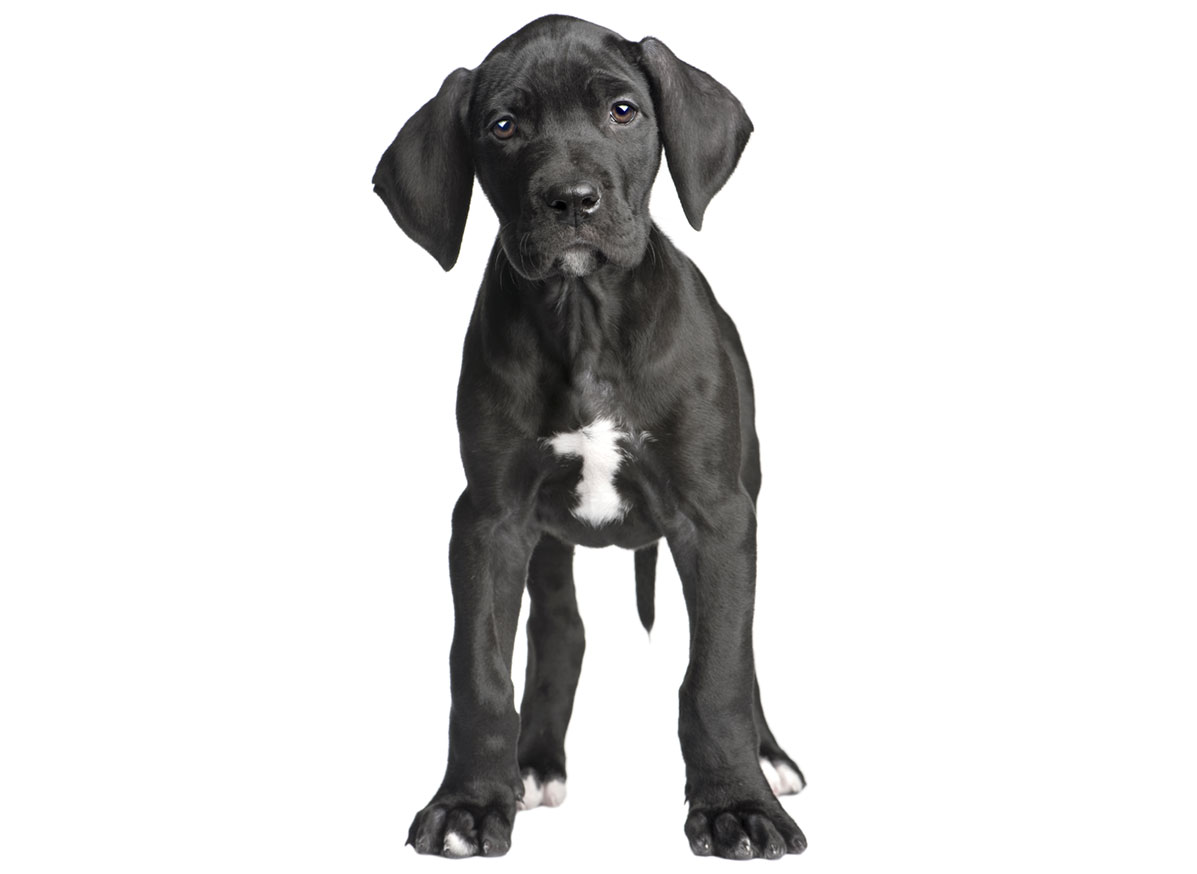 Great Dane puppies for sale by Uptown Puppies