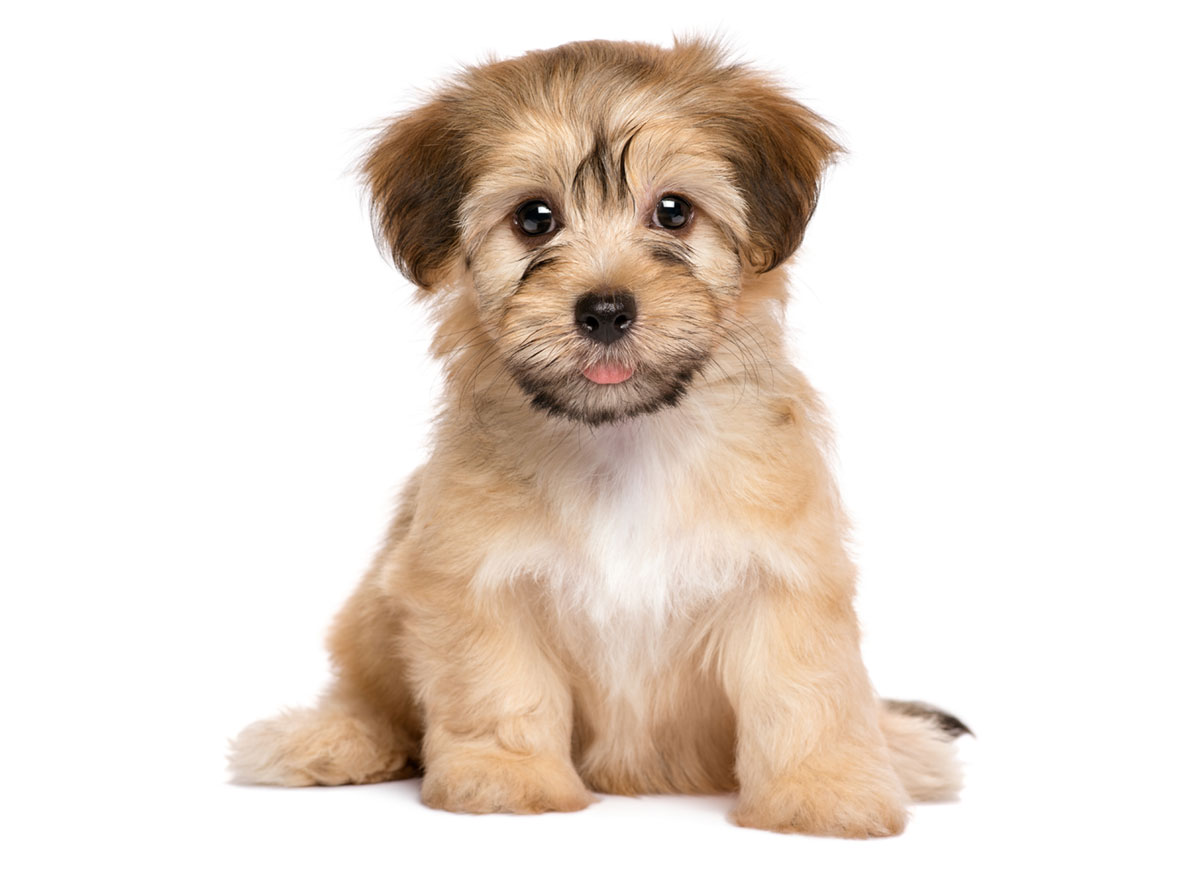 1 Havanese Puppies For Sale By Uptown Puppies