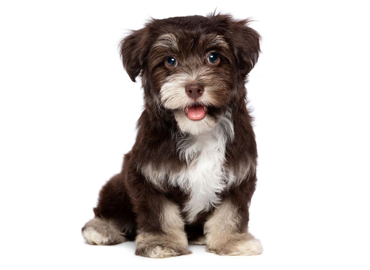 Havanese puppy finder