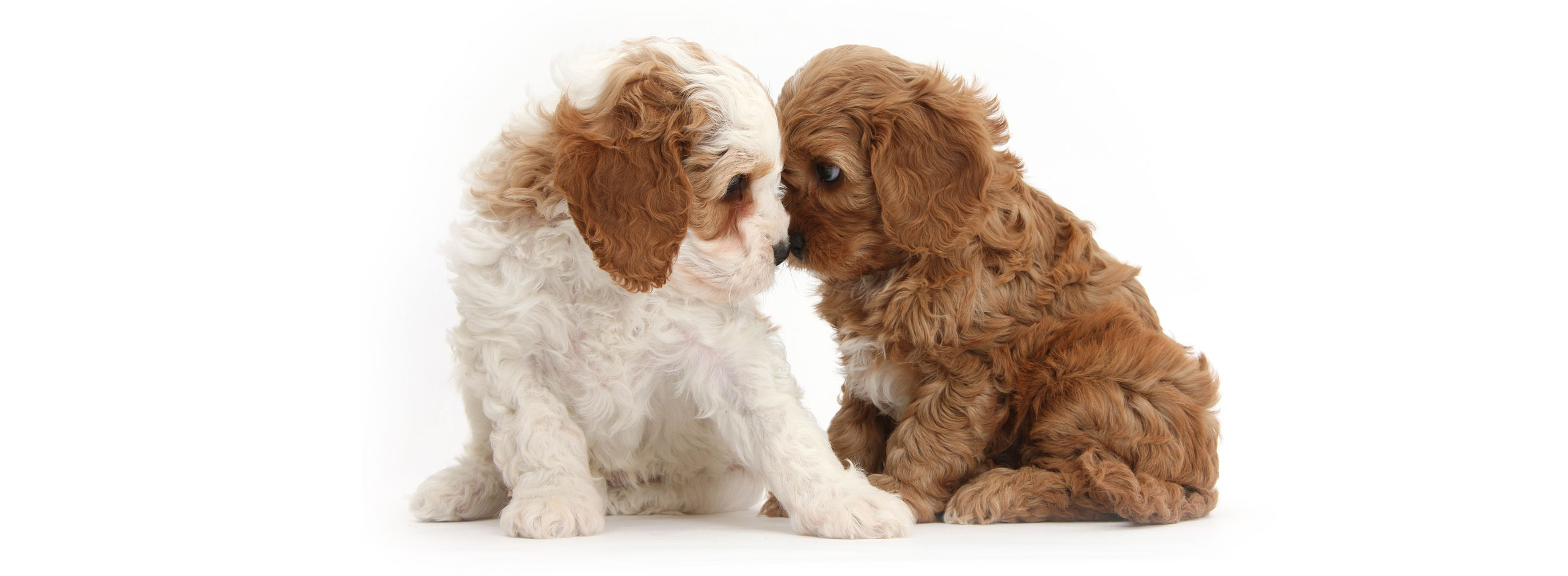 South Dakota labradoodle puppies