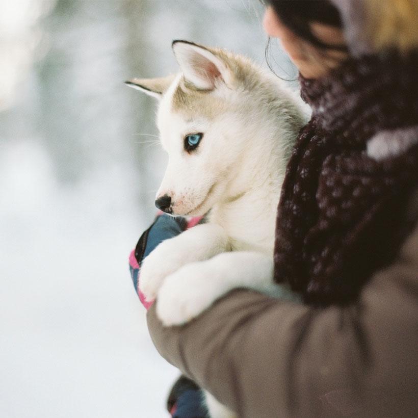 Uptown Puppies Siberian Husky Breeder