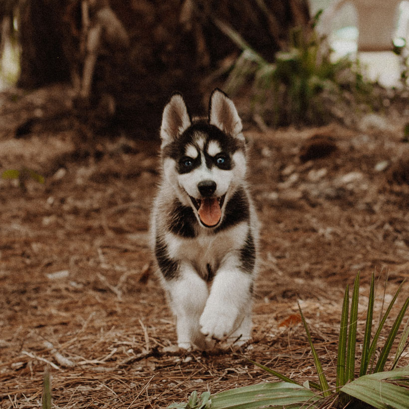 (state) husky puppies for sale