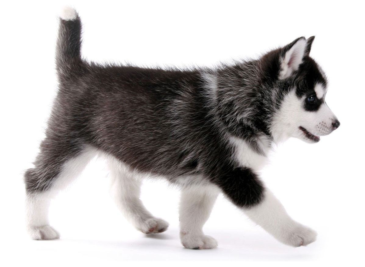 Husky puppy finder