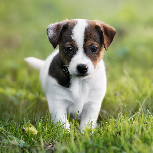 Uptown Puppies Jack Russell Terrier Breeder