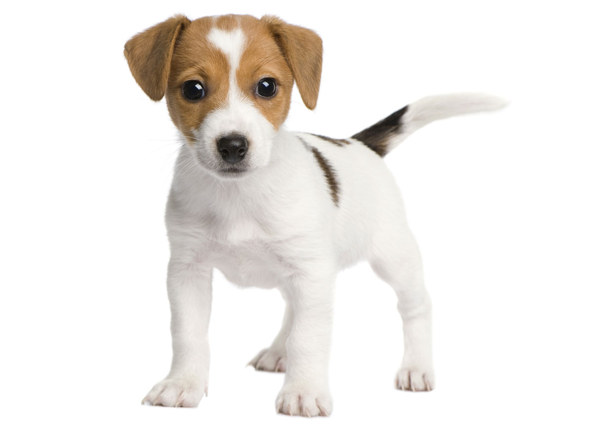Jack Russell Terrier Puppies for Sale in Austin TX by Uptown Puppies