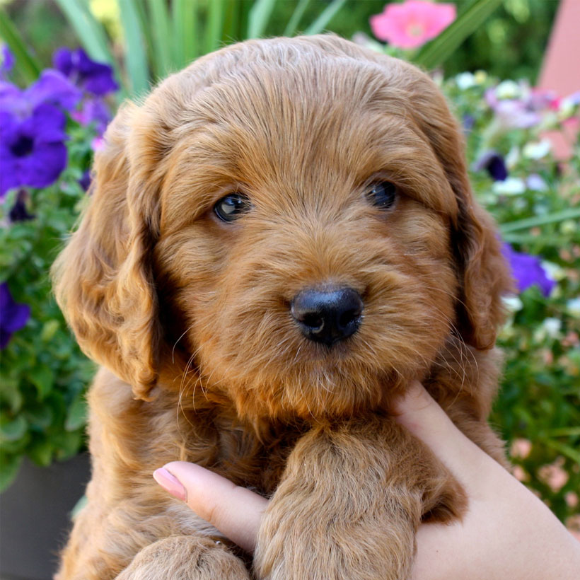 Arkansas labradoodle breeder