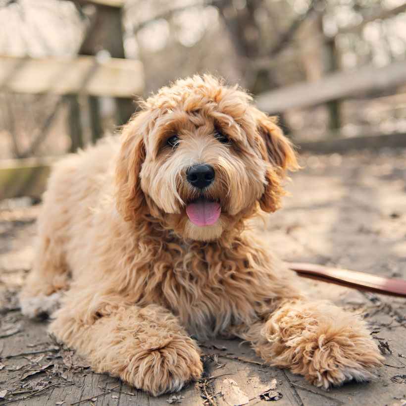 labradoodle South Carolina