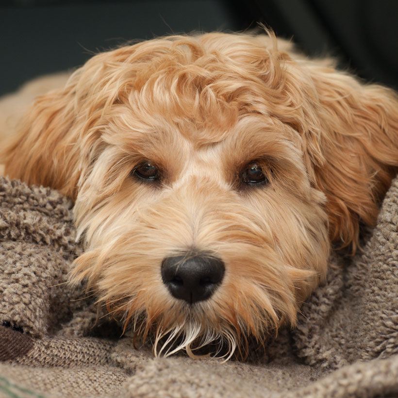 Uptown Puppies Labradoodle Breeder