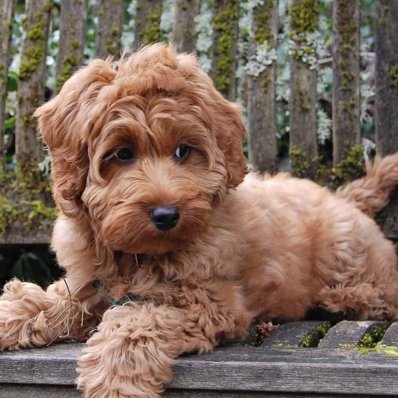 best labradoodle breeders in South Carolina