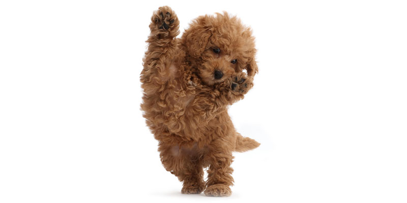 Labradoodle puppies for sales
