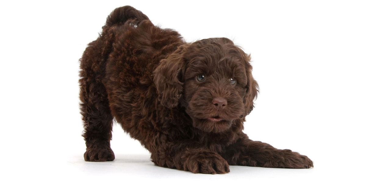 Puppies For Sale Near Me | Uptown Puppies Finder & Breeders