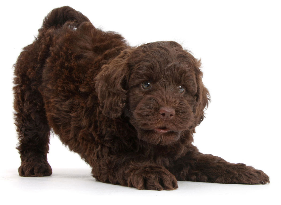 Labradoodle Puppies For