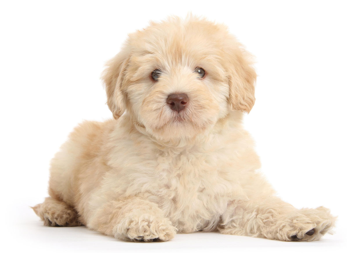 Goldendoodle puppy finder